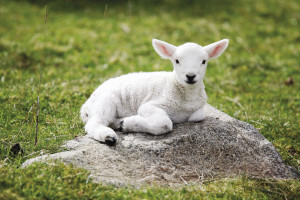cute-sheep-wallpaper-1