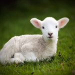 Middle-Eastern-wars-hit-Moldovan-lamb-export-sales