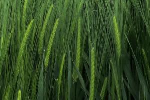 risk-barley-heads