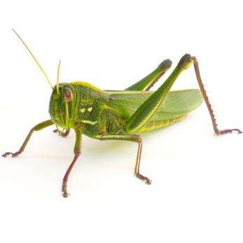 grasshopper_istock_000018058286xsmall